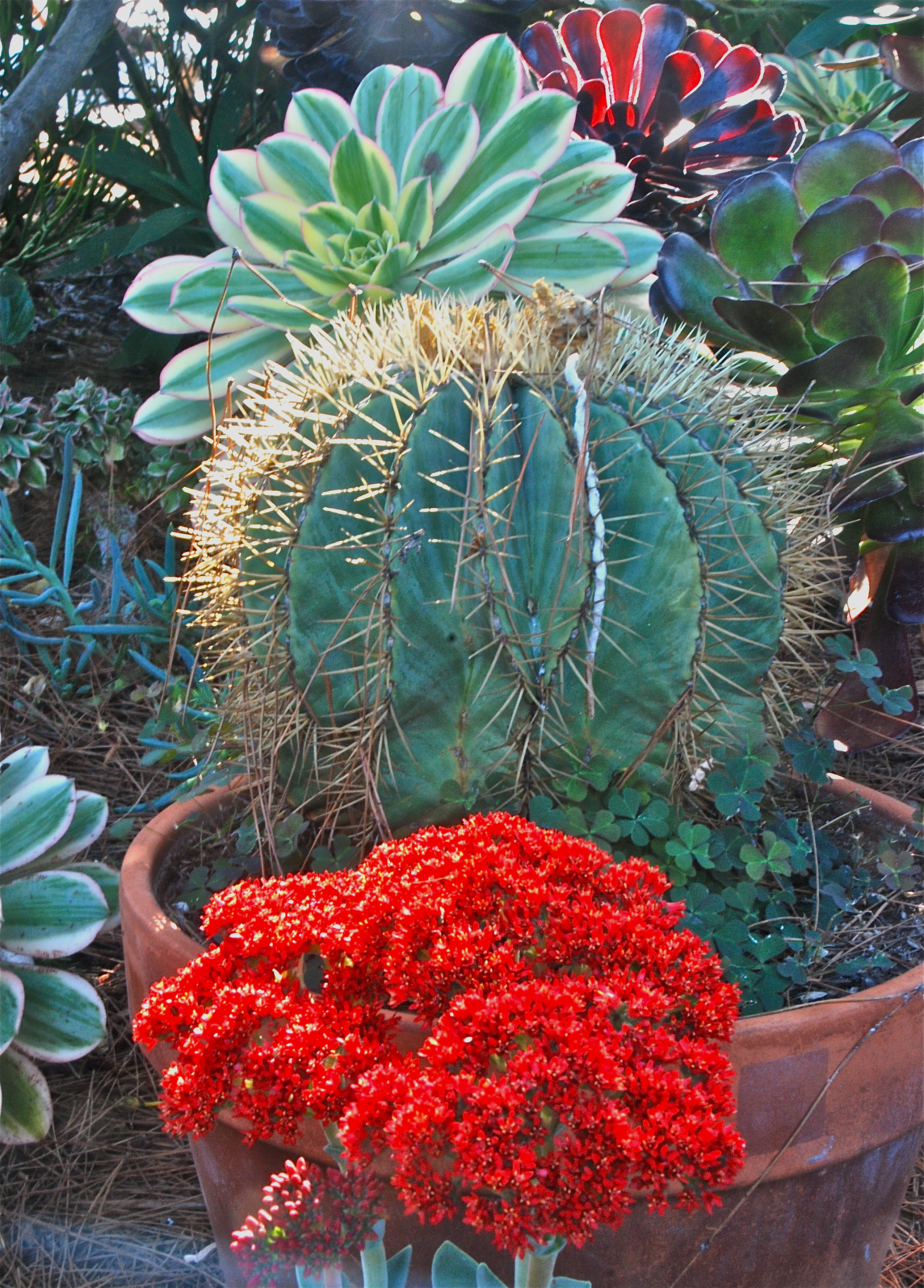 Aeonium 'Sunburst', Ferocactus glaucescens, and the Brilliant Red Bloom of a Crassula perfoliata var. falcata