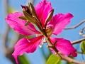 Bauhinia x blakeana Flower ~ Fiesta de Reyes